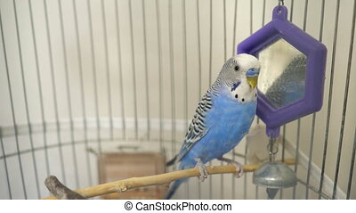 Domestic caged blue budgie parrot.