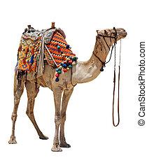 Domestic camel