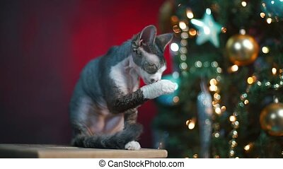 Domestic cat Devon Rex is sitting near a Christmas tree.