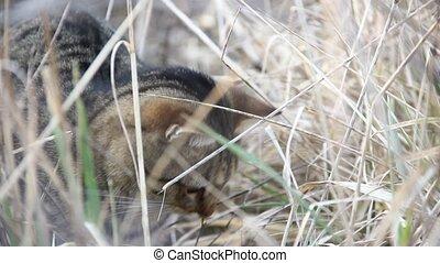 domestic cat hunting - beautiful domestic cat in a field...