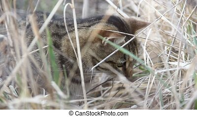 beautiful domestic cat in a field looking for a mice