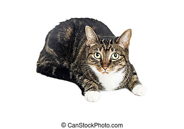 Domestic Cat Looking Into Camera on White