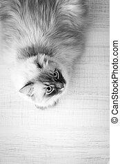Domestic cat lying on a wooden table