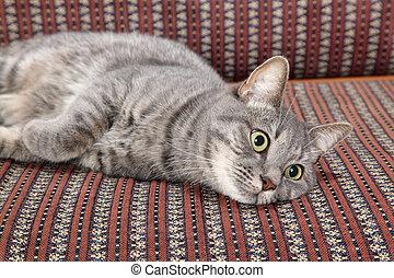 Domestic cat - Mix breed domestic gray cat at sofa