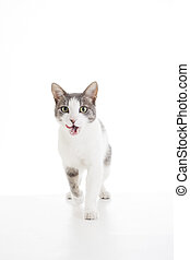 Domestic cat on isolated white background. Cat walking and...