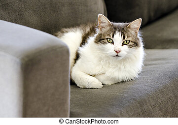 Domestic cat - Portrait of a cute domestic cat on a couch at...