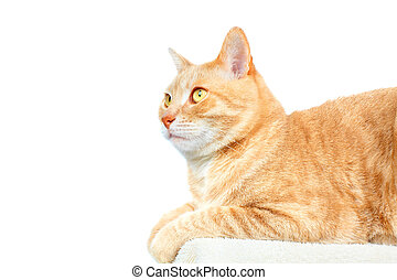 Domestic cat. - Red domestic cat isolated on white ...
