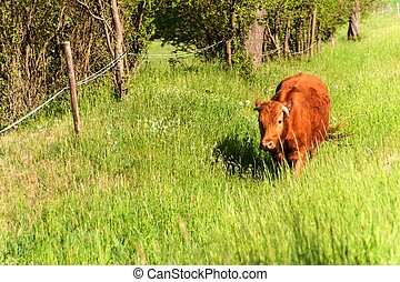 Domestic cattle on pasture. Breeding cows and bulls. Life on the farm.