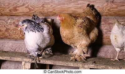 Domestic chickens in the henhouse