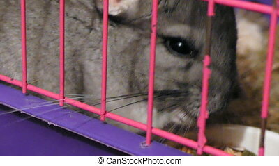 Domestic chinchilla sitting in cage - Cute gray rodent...