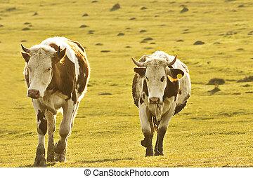 cows walking on meadow