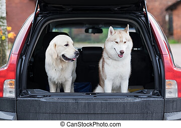 Domestic dog sitting in the car trunk. Preparing for a trip home after walking in park