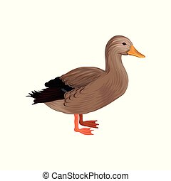Domestic duck, poultry breeding vector Illustration on a...