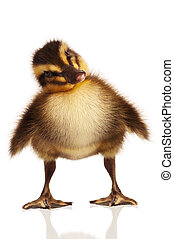 Domestic duckling - Cute domestic duckling isolated on white...