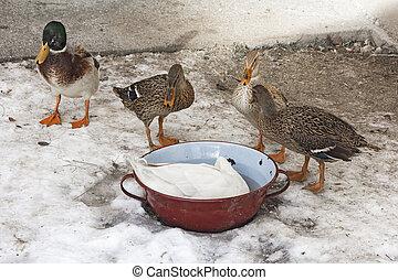 Domestic ducks in a snow