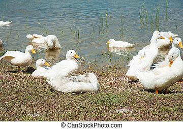 Domestic ducks on a pond