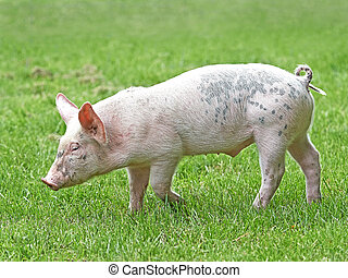 Domestic ecological pig walking on green grass