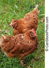 Domestic farm chicken