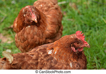 Domestic farm chicken
