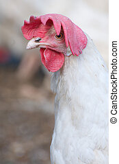 Domestic Farm Chicken with red comb