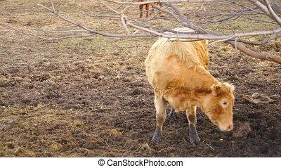 Domestic Farm Cow Domestic Livestock Scratches His Back on...