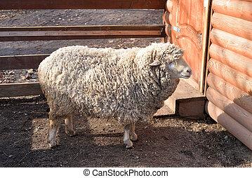 Domestic farm sheep.