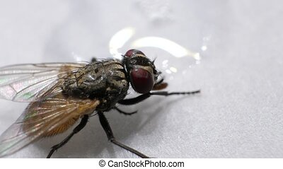 Domestic Fly In Detail - Macro shot of domestic fly with...