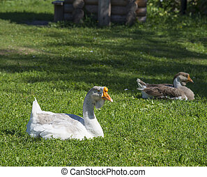 Domestic geese on the green lawn