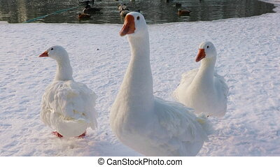 Domestic geese on winter background - Domestic white geese...
