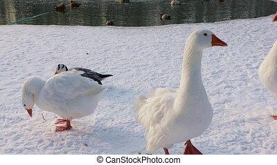 Domestic geese swim in an ice hole - Domestic geese swims...