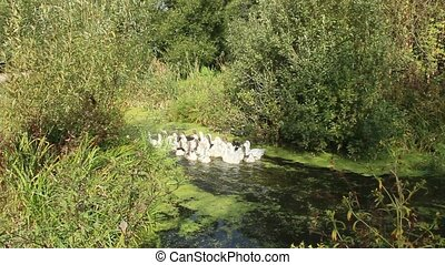 domestic geese swimming on river. Domestic birds - Geese...