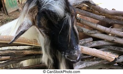 Domestic goat chewing food, close-up
