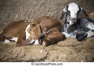 Domestic goat kids sleeping in the barn. Selective focus