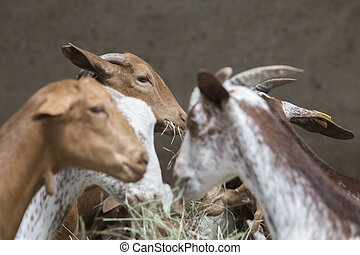 Domestic goats eats fodder from troug in the barn. Selective focus