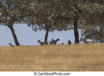 Domestic goats grazing yellow pastures. Flock protected from summer sun under oak trees