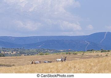 Domestic goats grazing yellow pastures. Sierra de Gata hills at bottom