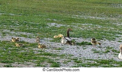 domestic goose and little cubs, little goose at the village,