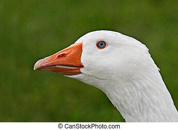 Domestic Goose Head Shot