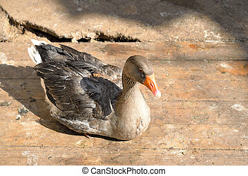 Domestic goose sits on the floor.