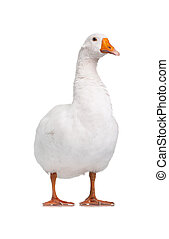 Domestic goose - White domestic goose isolated on white ...