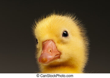 Domestic gosling - Cute little domestic gosling on grey ...