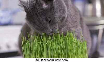 Domestic gray cat eats freshly grown green grass at home....
