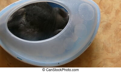 Domestic gray chinchilla bathing white sand - Rodent...