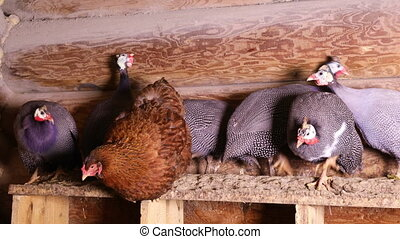 Helmeted guineafowls sitting at the roost - Domestic...