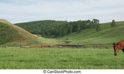 Domestic horses graze in a meadow.