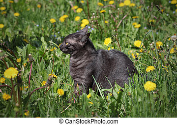 Domestic mix breed cat at grass - Young black domestic mix...