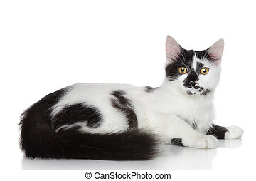 Domestic mix breed cat lying on a white background