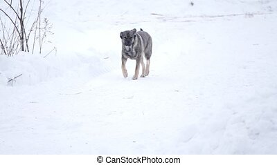 Domestic mongrel dog running in the snow, animal and rustic...