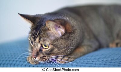 Domestic pet - Abyssinian cat is played, lying on the bed. ...