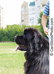 Domestic pet big black shaggy Newfoundland dog with fluffy fur in a meadow in summer next to the owner